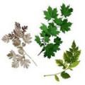 Ветки лиственные
